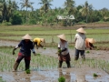 Rice Field West-Java