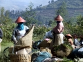 Dieng Plateau - Tea Pickers