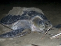 Green Turtle at Sukamade Beach