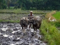 Water buffalos ploughing rice field in East-Java