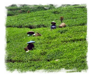 Tea pickers at Puncak Pass