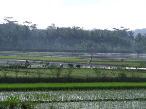 Rice paddies of Java